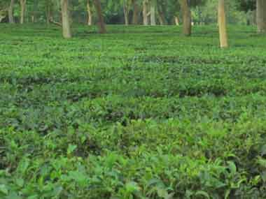 An Assam tea garden. Simantik Dowerah/Firstpost