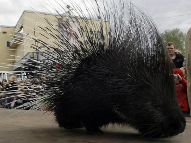 A market exists for quills and claws of porcupines – sellers even offer them on the notorious ebay. Reuters
