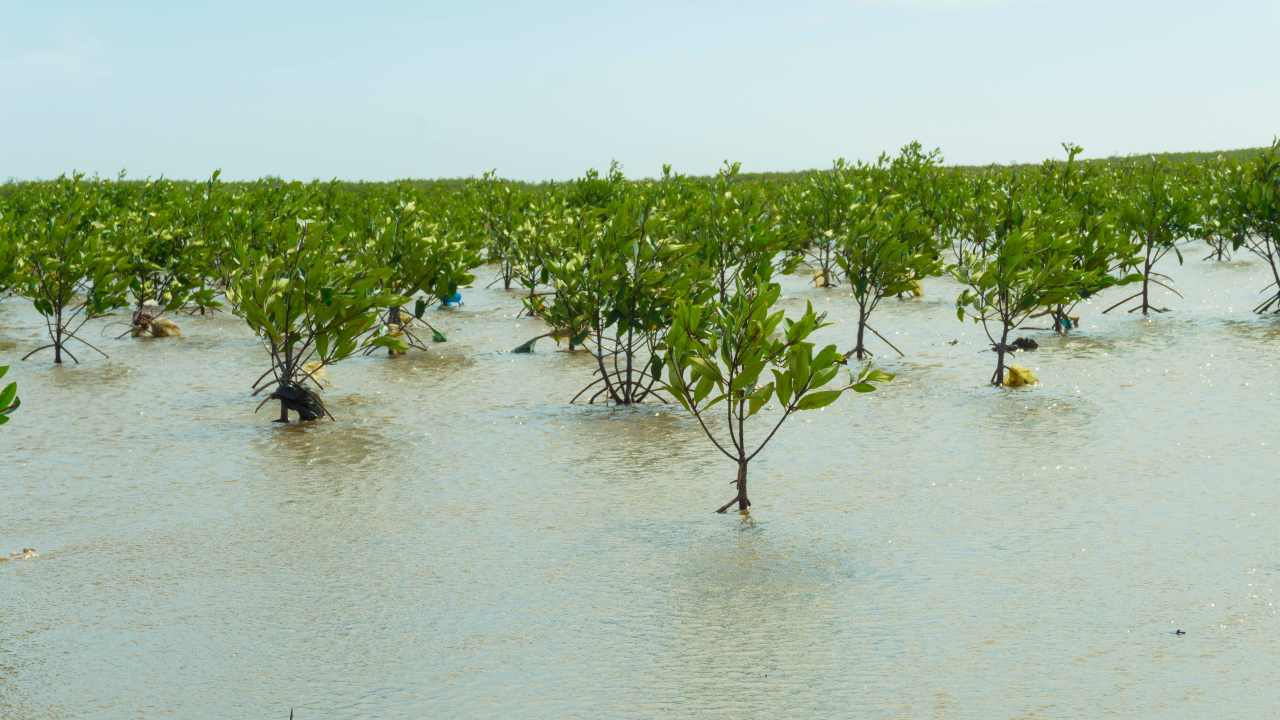 Replanting mangroves could protect tropical coastlines from flooding and storm surges, while absorbing atmospheric carbon and slowing climate change at the same time. Image: Author provided