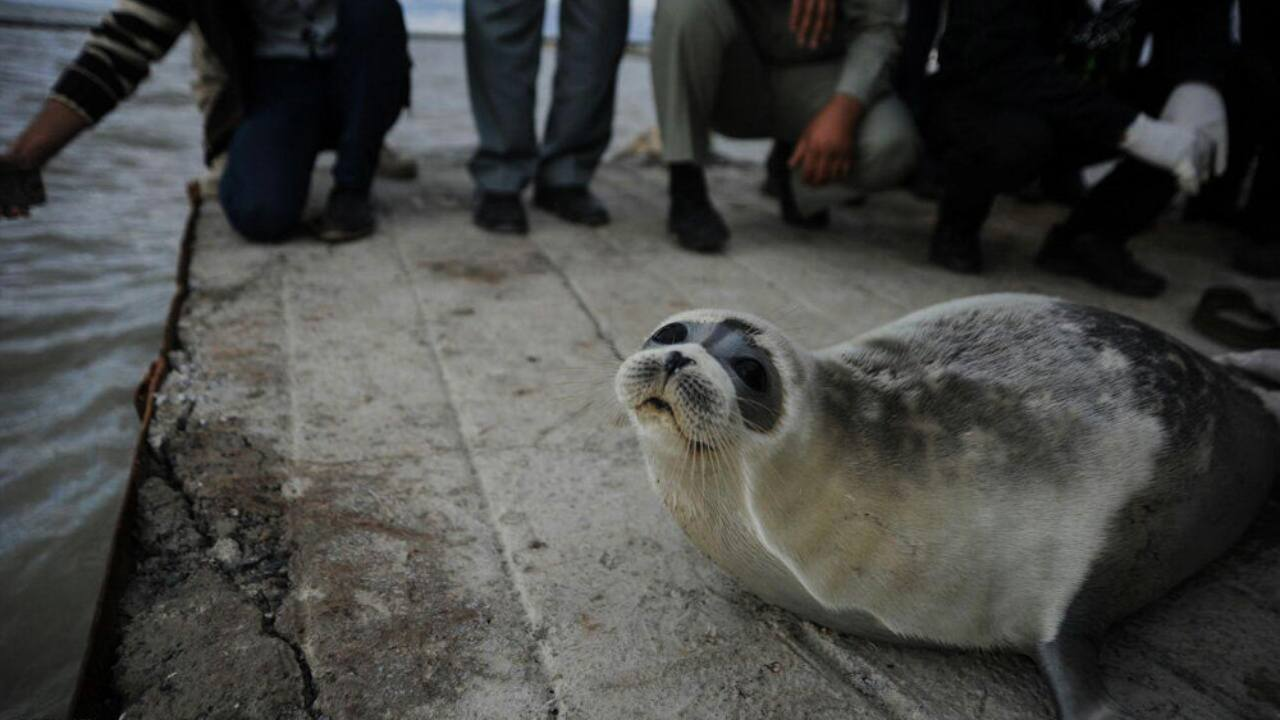 A caspian seal being returned to sea by a fishing boat at the port of Turkmenis. Image: Wikimedia Commons