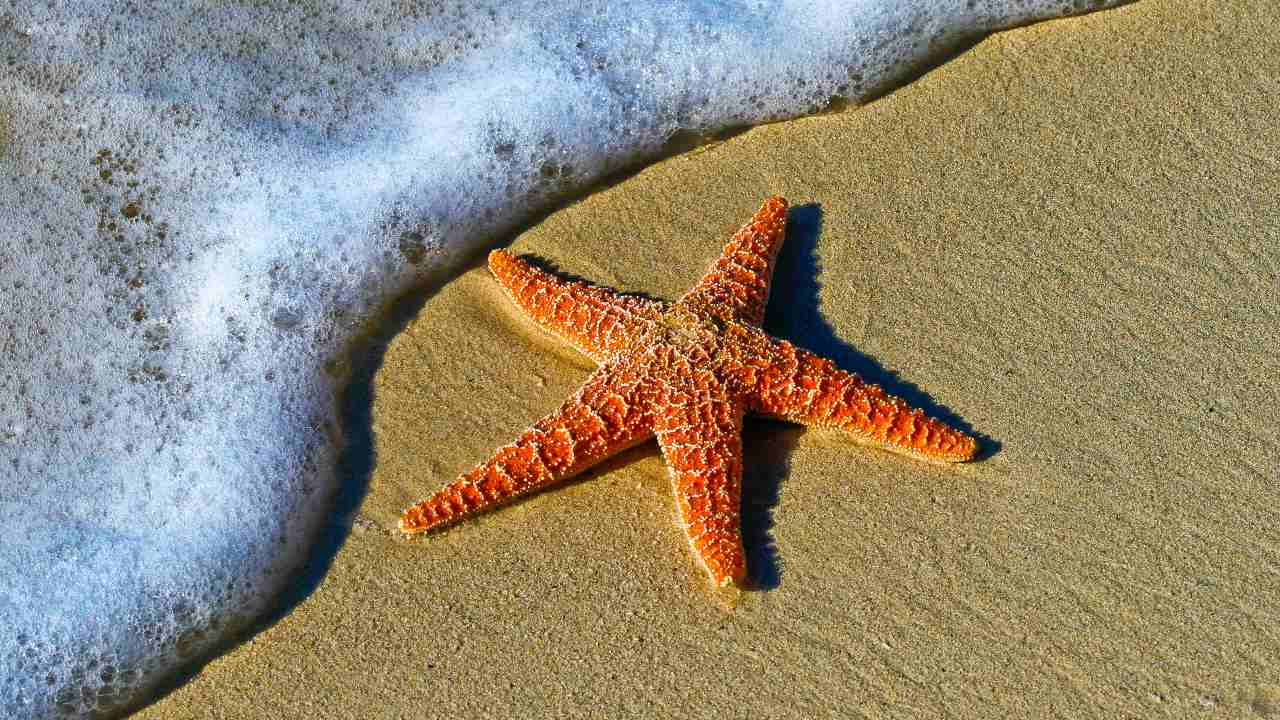 Although starfish might appear very robust animals, they are typically made up of lots of hard parts attached by ligaments and soft tissue which, upon death, quickly degrade. Image credit: Unsplash